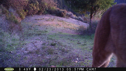 Mountain Lion 2/23/2013 @17:57 San Mateo County; photo taken by motion-sensor camera. Check w/Georgia Stigall for more info.