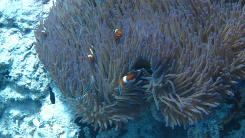 Clownfish in Sipadan
