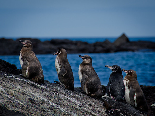 Galapagos Birds: Galapagos Penguins