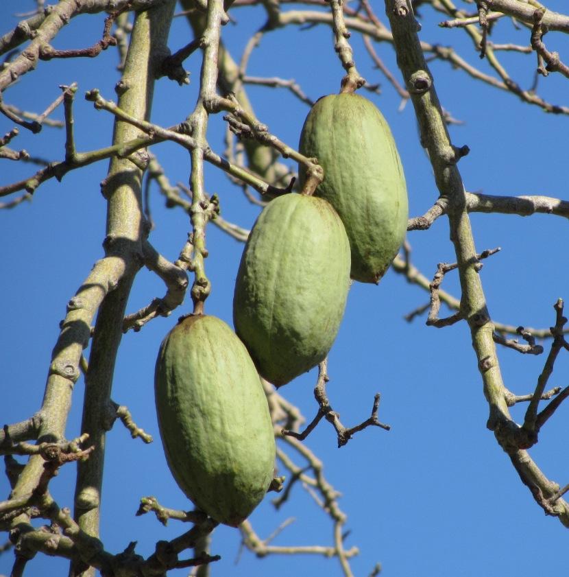 Silk Floss Tree fruit pods | Flickr - Photo Sharing!