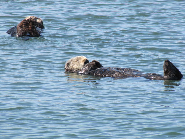 Sea Otters on Elkhorn Slough