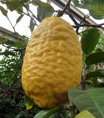 flower(0.0), plant(0.0), yuzu(0.0), produce(0.0), artocarpus(0.0), food(0.0), bitter orange(0.0), jackfruit(0.0), gourd(0.0), citrus(1.0), leaf(1.0), fruit(1.0), citron(1.0),