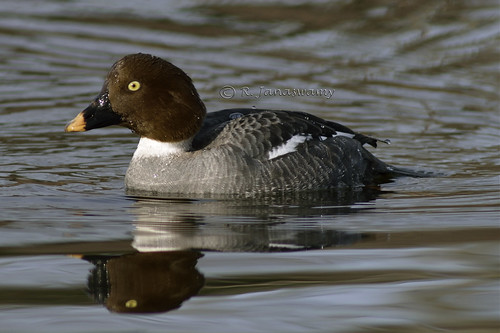 Common Golden Eye (Female), Wentworth Farm Conservation Area, Amherst, MA by Janaswamy