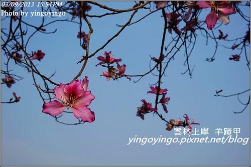 雲林土庫_羊蹄甲20130309_DSC00167