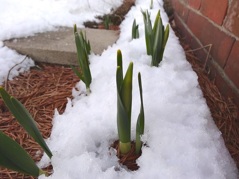 hardy daffodils