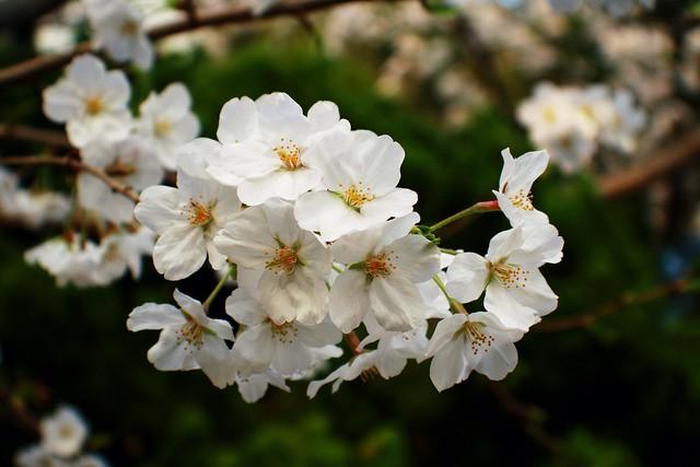 Sakura sherry blossom
