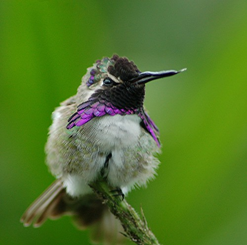Costa's Hummingbird... purple ruff is glorious! by jungle mama