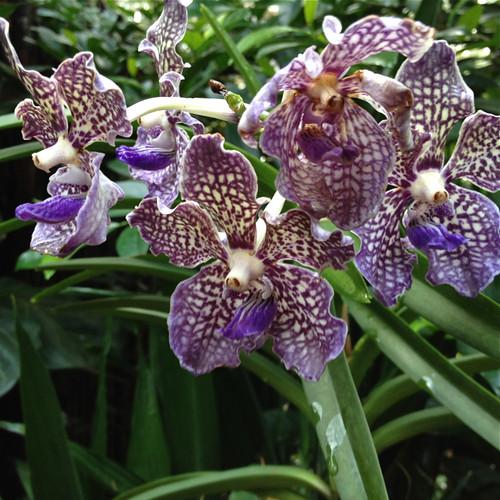 Singapore Orchid Garden 6