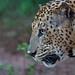 Leopard (John Young)