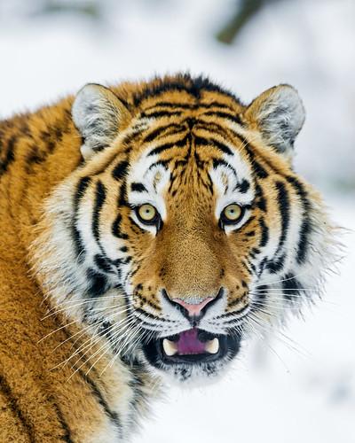 [フリー画像素材] 動物 (哺乳類), 虎・トラ ID:201304031000
