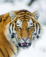 [Free Images] Animals (Mammals), Tigers ID:201304031000