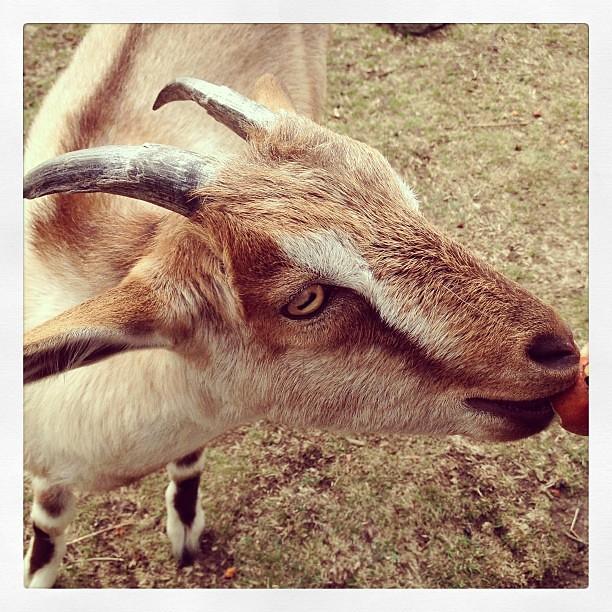 Goatiness