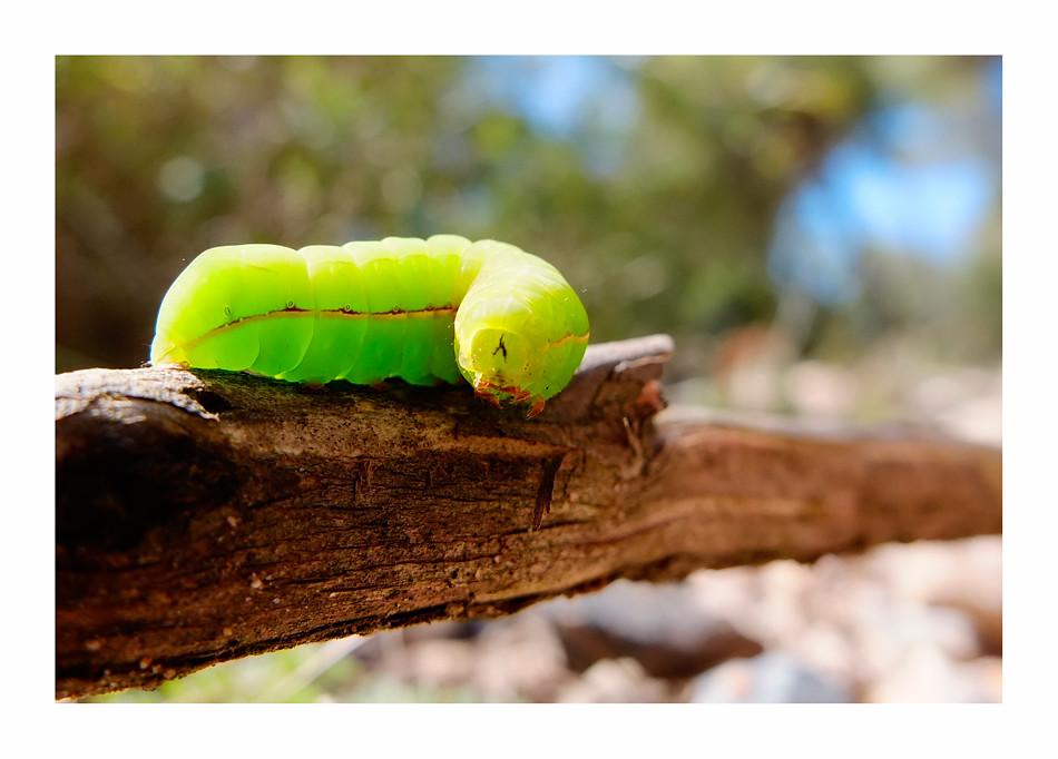 Cuc verd