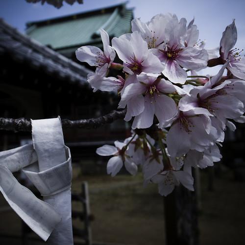Prayer Cherry Blossom, Ichikawa 2013