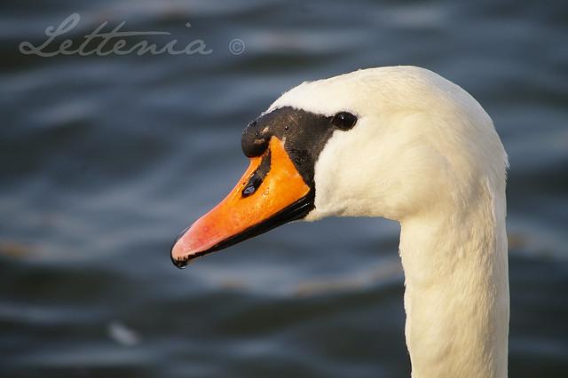 He Swan