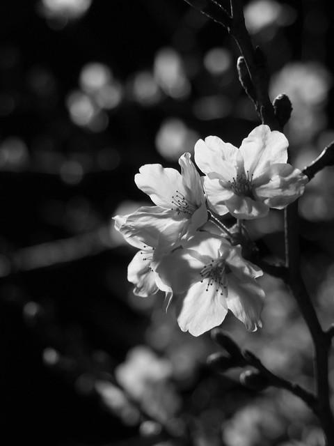 夜桜ものくろーむ