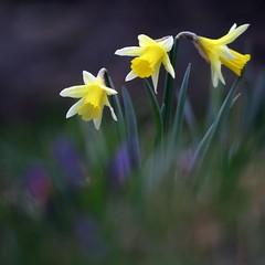 Daffodils at last!