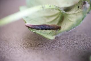 Coleophora albitarsella larval case