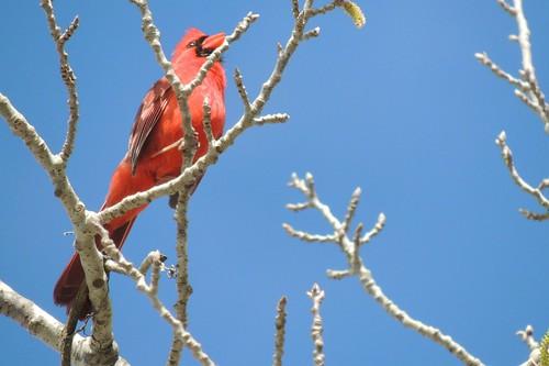 NC State Bird