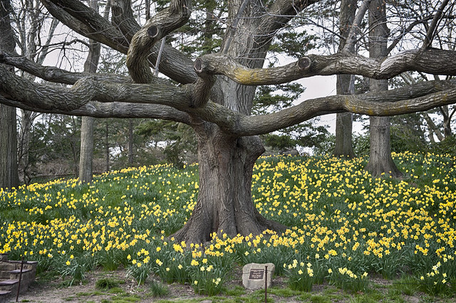 Daffodils at Brooklyn Botanic Garden, Brooklyn, NY
