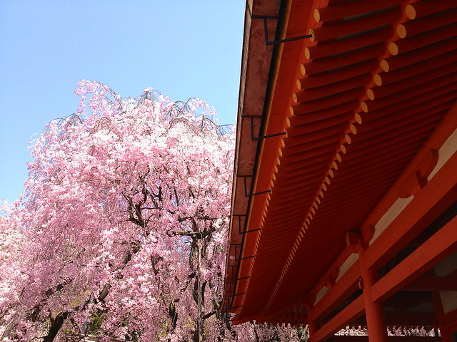 Heian Shrine cherry blossom