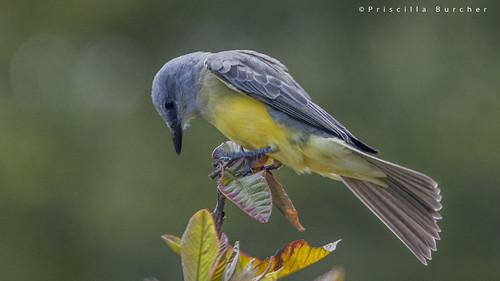 Tyrannus melancholicus (Tropical kingbird/Sirirí)