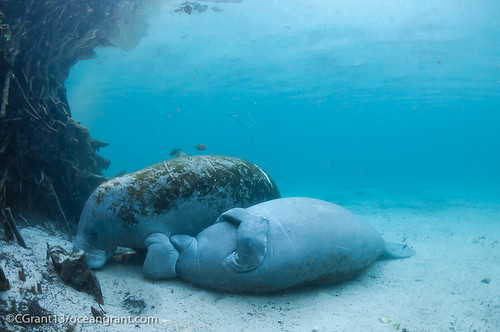 Manatee Calf Nurses Upside Down