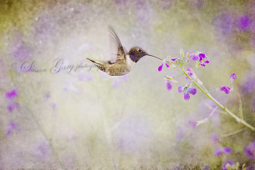 Black-Chinned Hummer and Purple Flowers by *GloriousNature*bySusanGaryPhotography