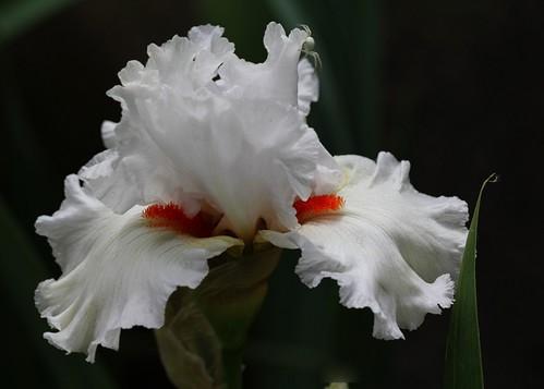 Iris - floraisons 2011 - Page 2 8664514935_64e022618c