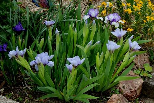 Iris nains (27)