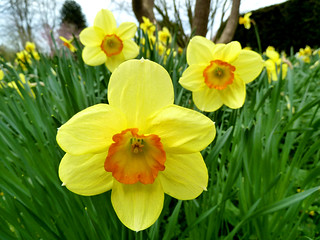 Daffodils, The Courts Garden, Holt, Wiltshire