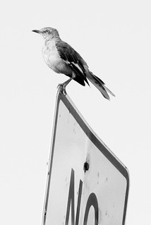 Mockingbird - Alexandria VA