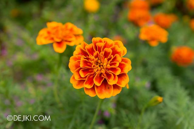 Sentosa Flowers 2013 - Brilliant Orange