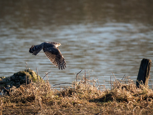 Sparrowhawk-hunting (2)