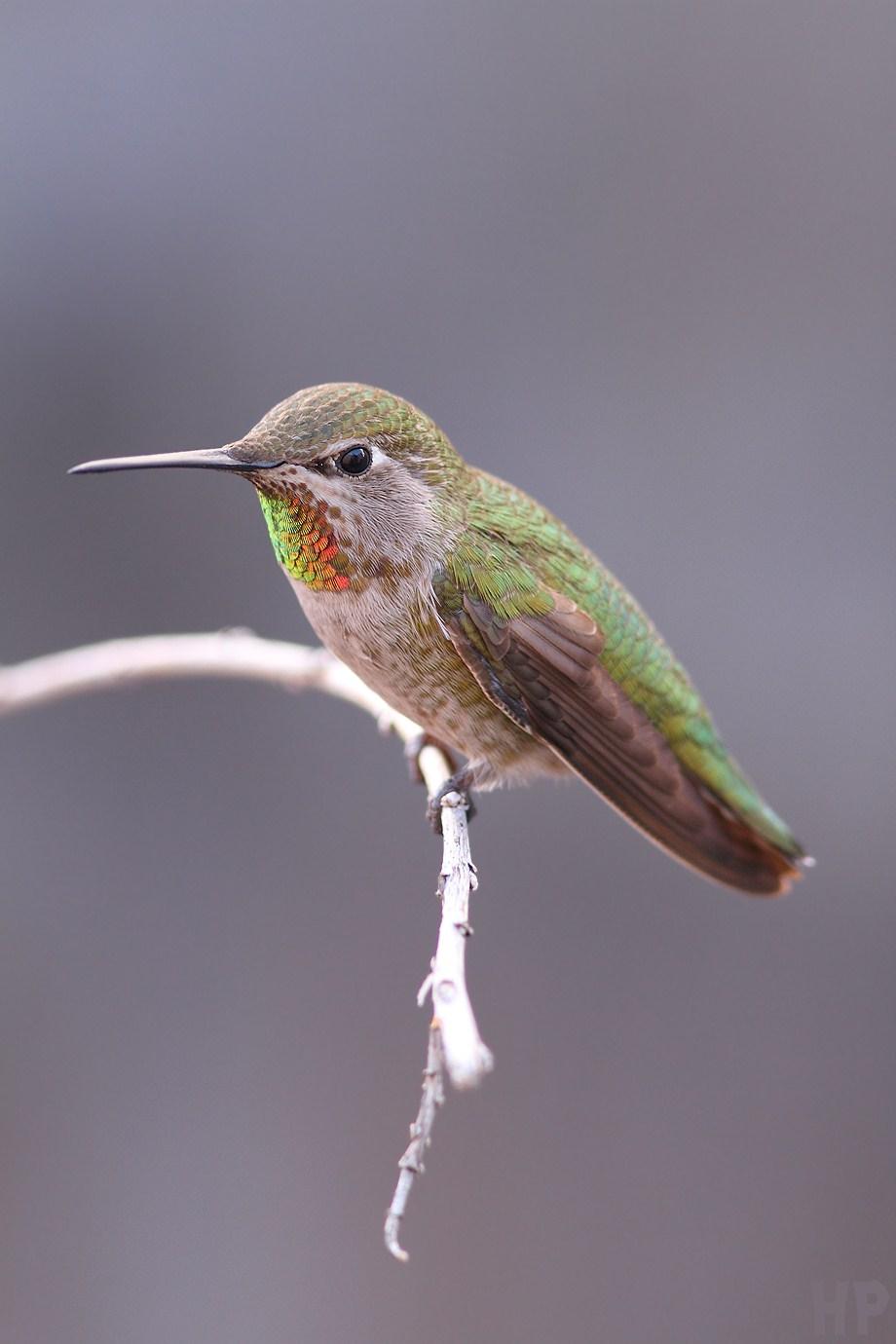 Anna's Hummingbird 021413