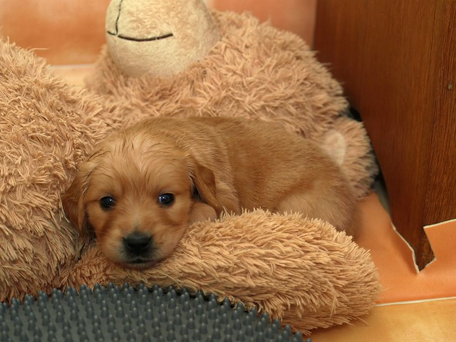 Adorable Sweet Tiny Puppy Cute Golden Retriever
