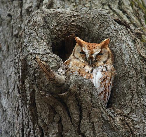 Eastern Screech-Owl by jbmikmaq via I {heart} Rhody