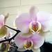 Phalaenopsis bianca e rosa