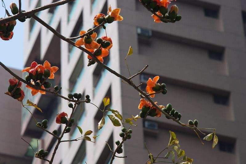城市裡的焦點-木棉花