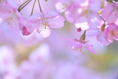 [Free Images] Flowers / Plants, Cherry Blossoms, Pink ID:201303160600
