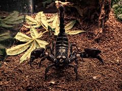 animal, soil, scorpion, nature, invertebrate, macro photography, fauna, wildlife,