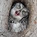 Eastern Screech Owl Yawns