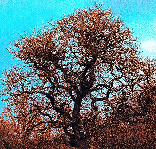 Tomnafinoge Beech Tree
