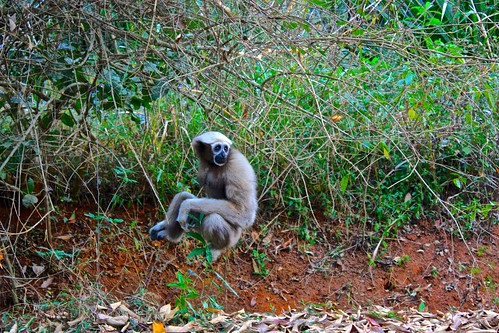 some monkeys came in close to visit. this gray one was particularly interested