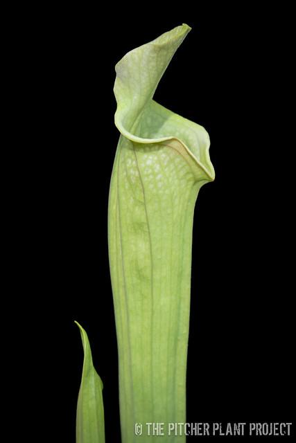 "Sarracenia 'Reptilian Rose' x leucophylla ""pale"" - clone 12"