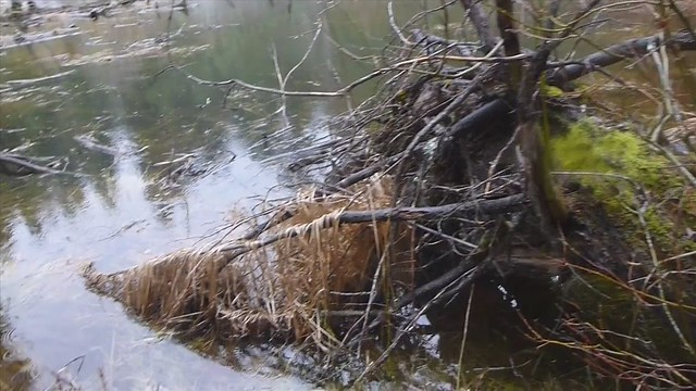Video - Finding and photographing an Oregon Spotted Frog at Parsnip Lakes