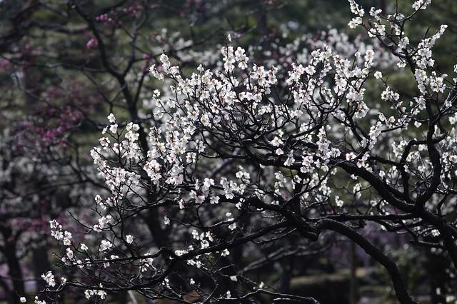 春始めました6 街の梅