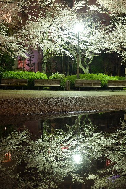 Sakura reflection