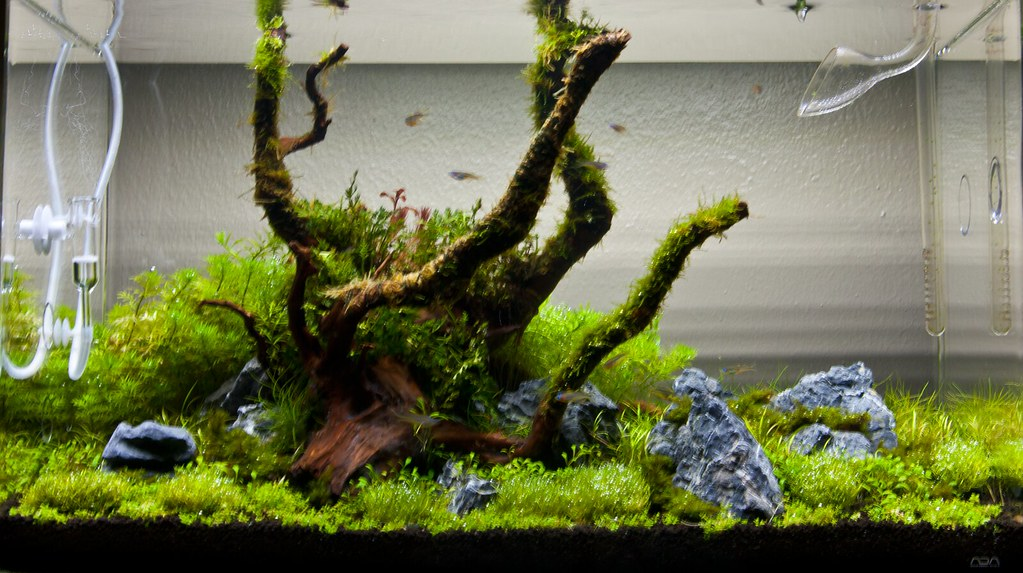 Franku0027s Planted Tank How To Mini Novel   The Mini S Returns! New Layout    Page 67   The Planted Tank Forum