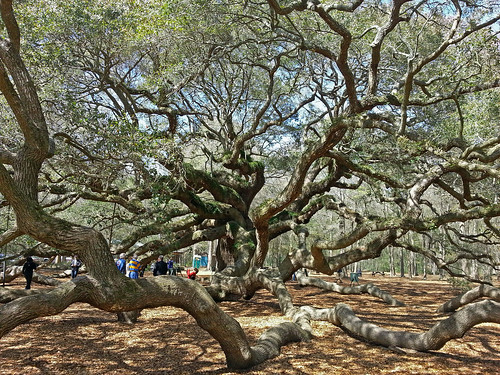 southcarolina charleston angeloak johnsisland angeloakpark quercusvirginiana theangeloak anamazingoldtree